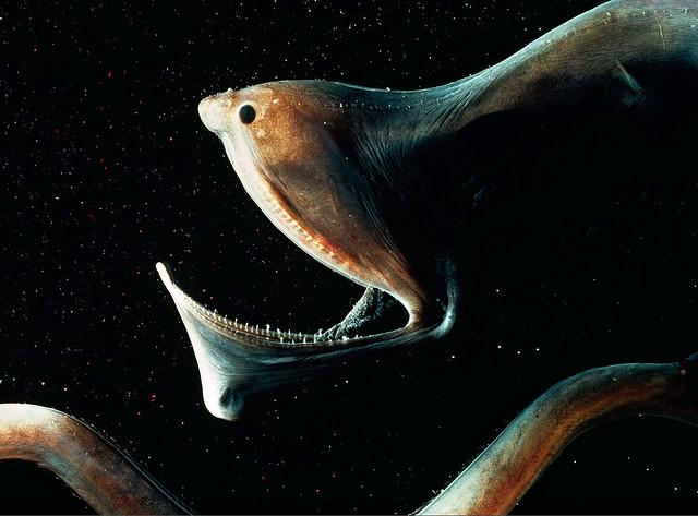gulper eel