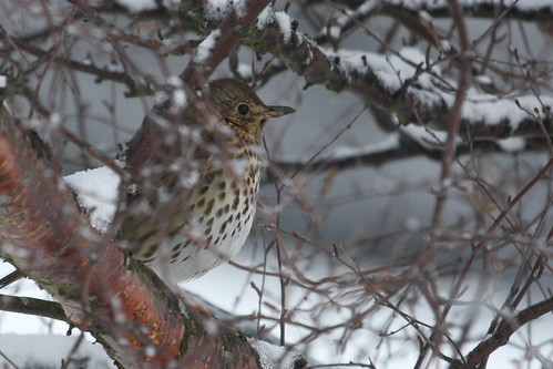 Song Thrush by wimog, on Flickr