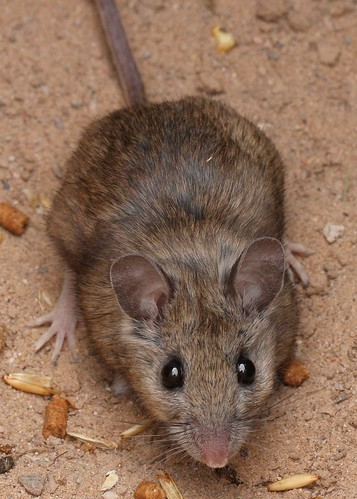 White-footed Deermouse (Peromyscus leucopus)