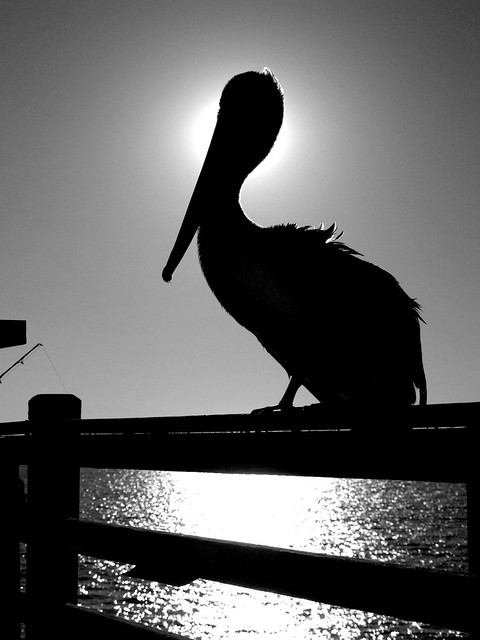 Pelican Silhouette Flickr Photo Sharing
