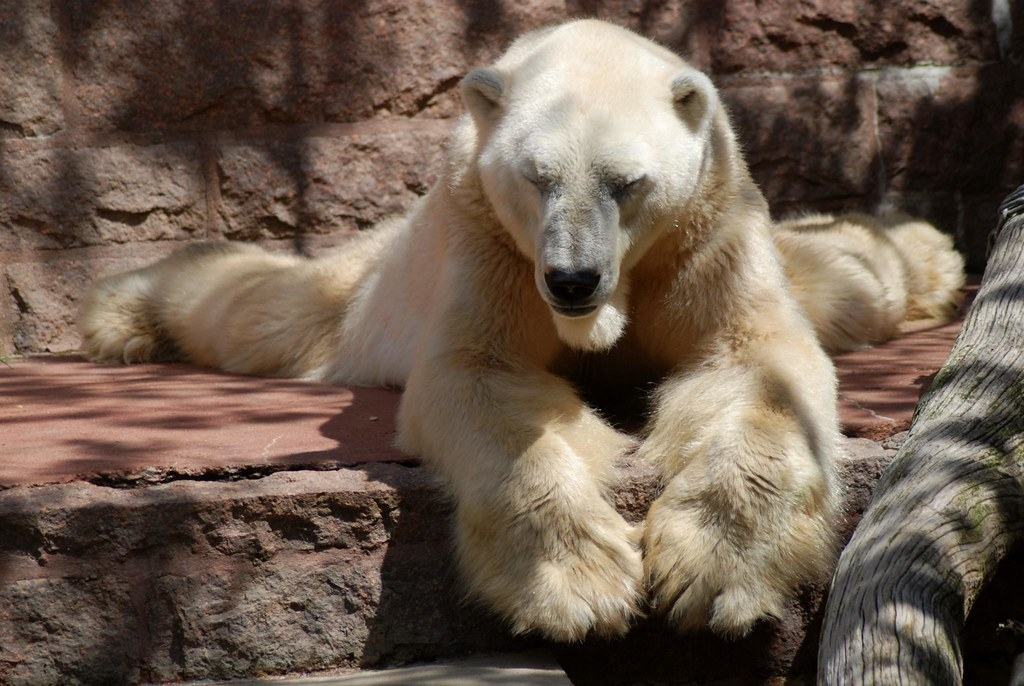 Eisbär Churchill im Zoo Rostock