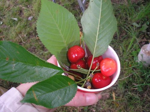 Cherry Picking, 31st May 2009