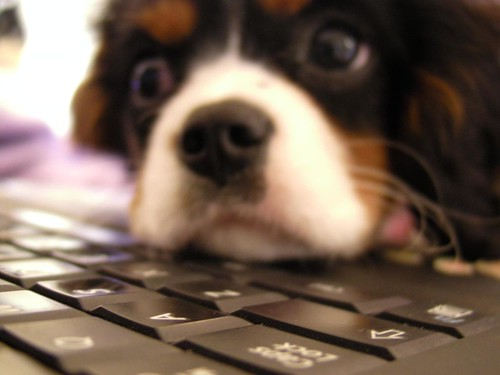 Puppy and laptop, Puppy chin on laptop