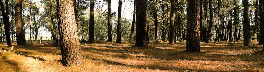 Einzigartige Tuart Bäume