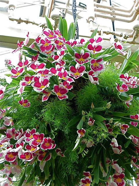 Hanging Basket Orchids A Gallery On Flickr