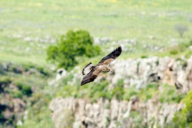 bonelli's eagle Hieraaetus fasciatus