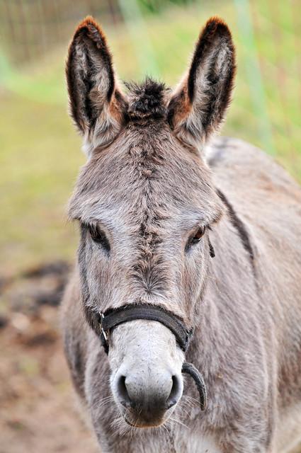 Cute Gray Donkey Flickr Photo Sharing