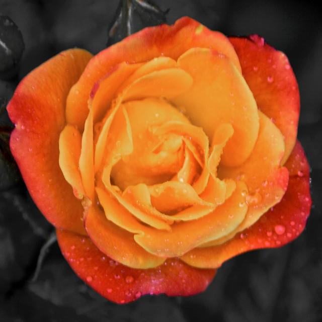 Jacob S Ladder Rose Flickr Photo Sharing
