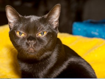 Bombay Cats BOM Paragon of Beauty Bagilis