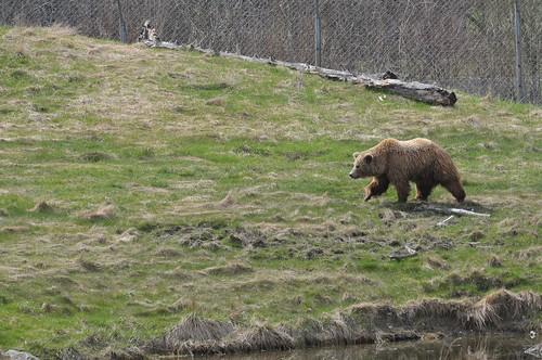 Braunbär im Skandinavisk Dyrepark in Kolind