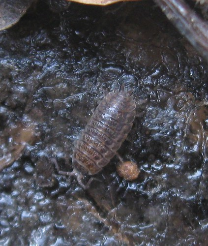 Wood-louse, Starkweather Creek