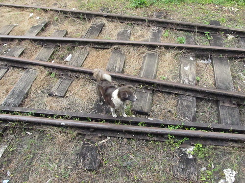 Stray dog on the tracks