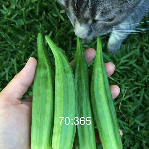 #365daysproject #365days #okra #harvest 5 good sized ones #urbangardener #growing #gardening #gardendiary