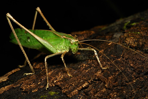 Katydid (Phaneropterinae, Tettigoniidae)
