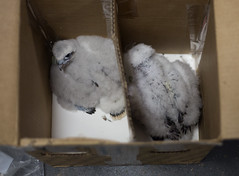 The Two Pilsen Male Chicks