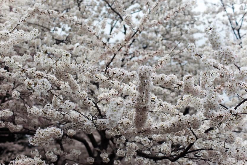 Cherry Blossoms, Cherry Blossom Festival.