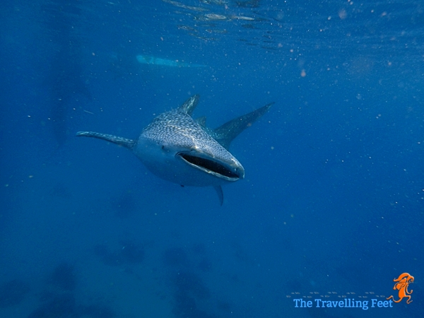 playing with the whale sharks