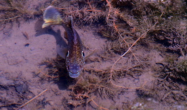 Bluegill Spawning