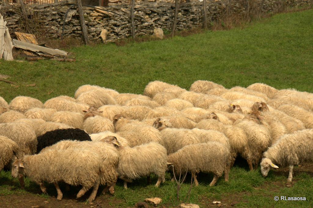 Rebaño de ovejas en un prado. Autor, Rufino Lasaosa.