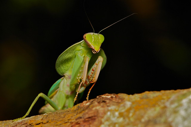 Hooded Mantis Nymph