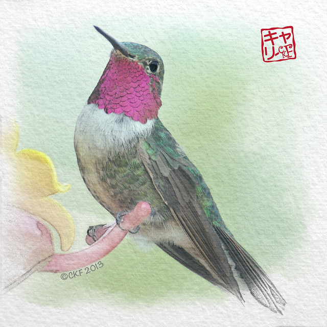 Hummingbird Profiles #1