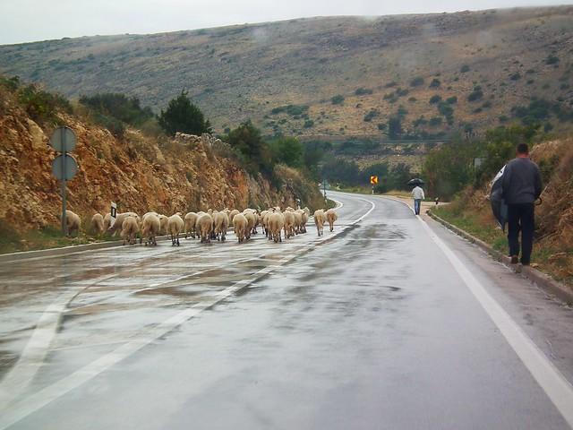 Sheep jam on Pag, Croatia
