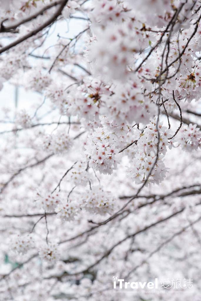 奈良赏樱景点 高田川千本樱 31