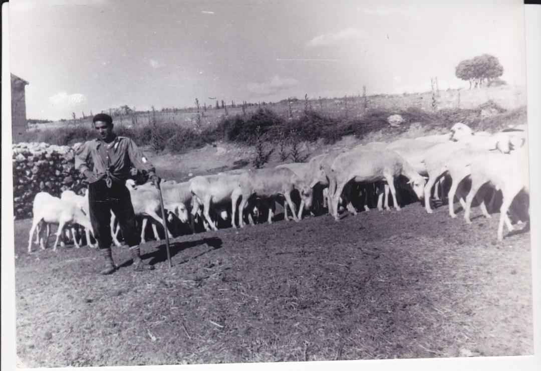 Pastor y rebaño despues del esquile. Años 50. Autor, Crispín Alcázar.