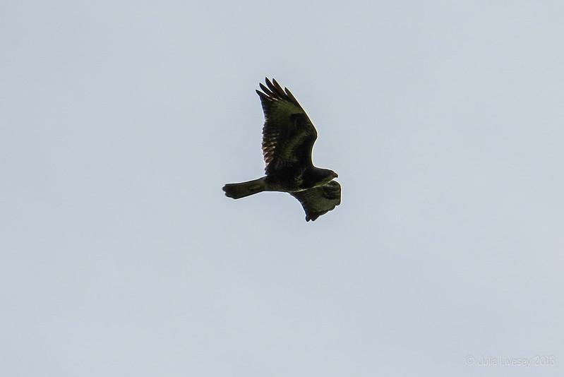 Buzzard overhead