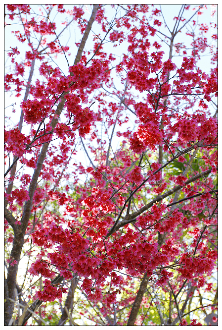 [三義.旅遊]三義丫箱寶.木鴨、水鳥、彩繪DIY~似白雪般的李花相遇 @VIVIYU小世界