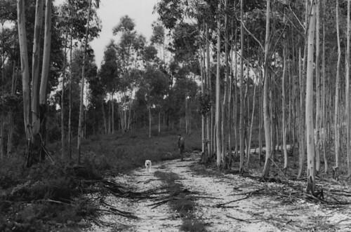 Eucalyptuses