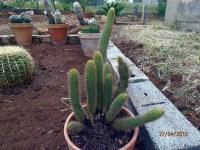 Cephalocleistocactus Schattatianus