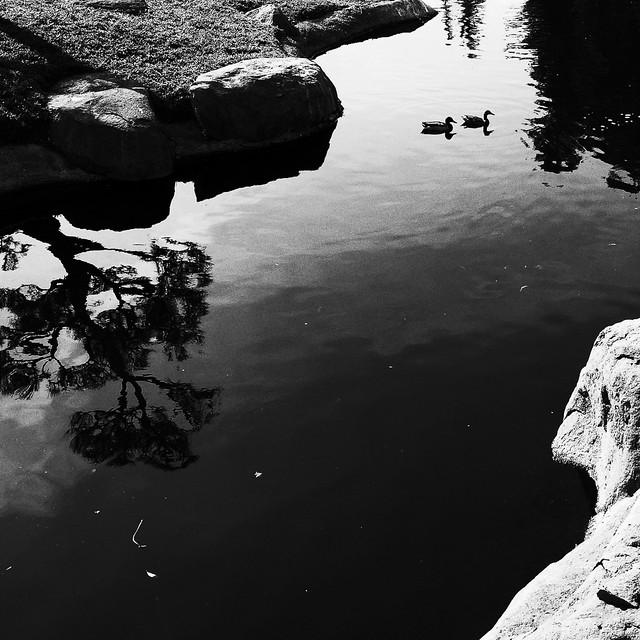 Mallards and tree reflection