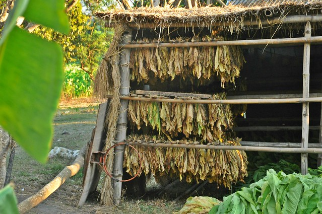 Ilocos Tobacco