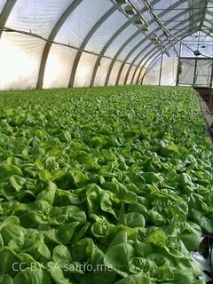 keräsalaattia-kallion-kasvihuoneessa
