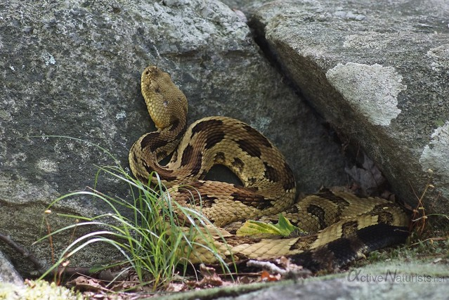rattlesnake 0001 Harriman State Park, NY, USA