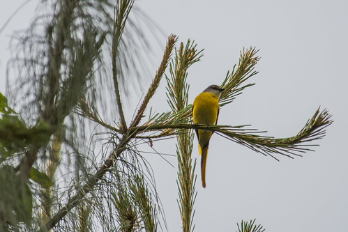Long-tailed Minivet (female)