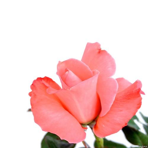 Tender Young Sensual Sweet Pink Petals Unfurl - IMRAN™ by ImranAnwar