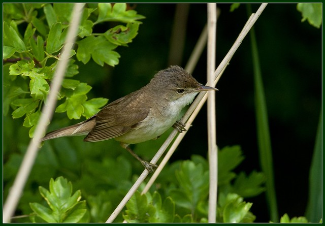 Reed Warbler Canvey Wick 2