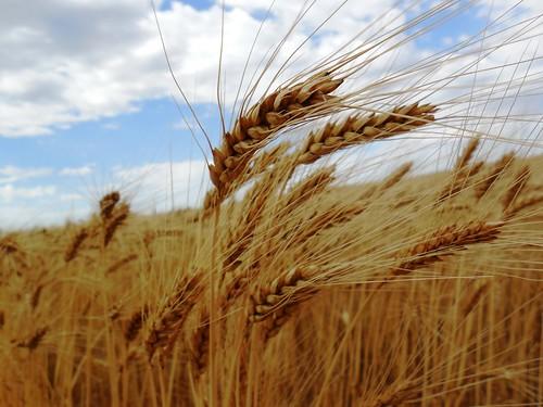 Pretty wheat