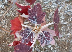 Reddened hydrangea leaves
