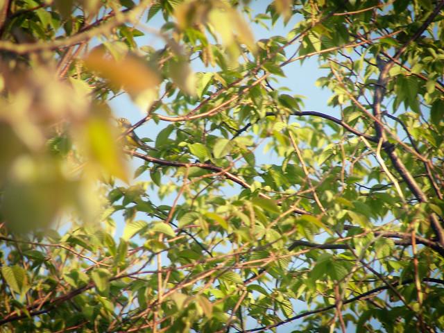 Evasive Canada Warbler!