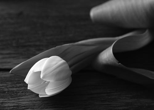 Tulip by Luiz L.