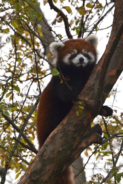 L'il Red Panda