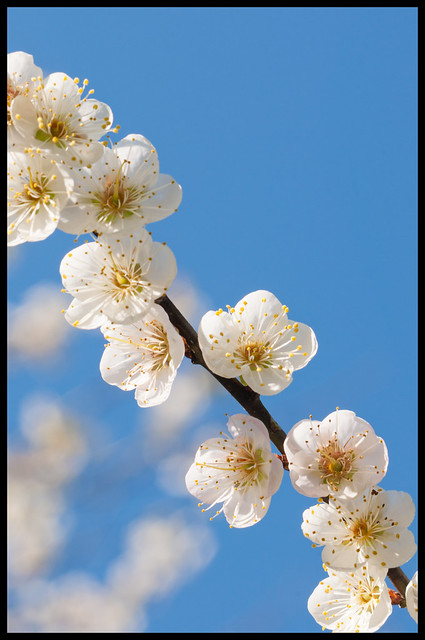 Plum Blossoms (Bordered)