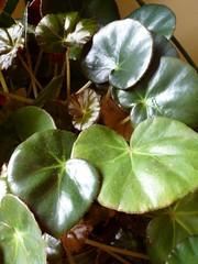 African violet leaves