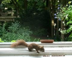 Eichhörnchen 4.2