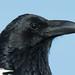 Crop of a Pied Crow (Corvus Albus)