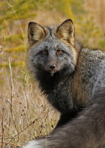Red Fox...#10 by Blackcat Photography