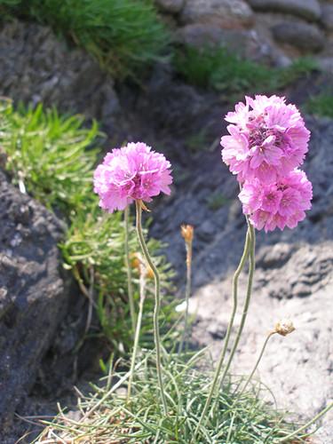 Sea pinks at Mansands, Devon